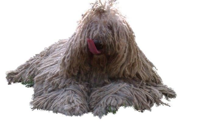 Комондор (венгерская овчарка): фото, купить, видео, цена, содержание дома