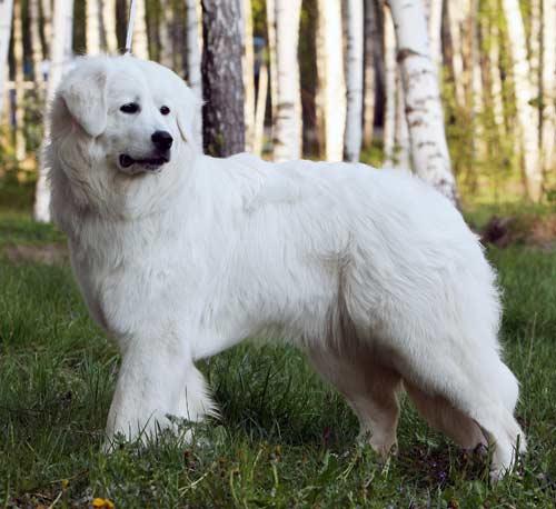Сторожевая порода собак словацкий чувач