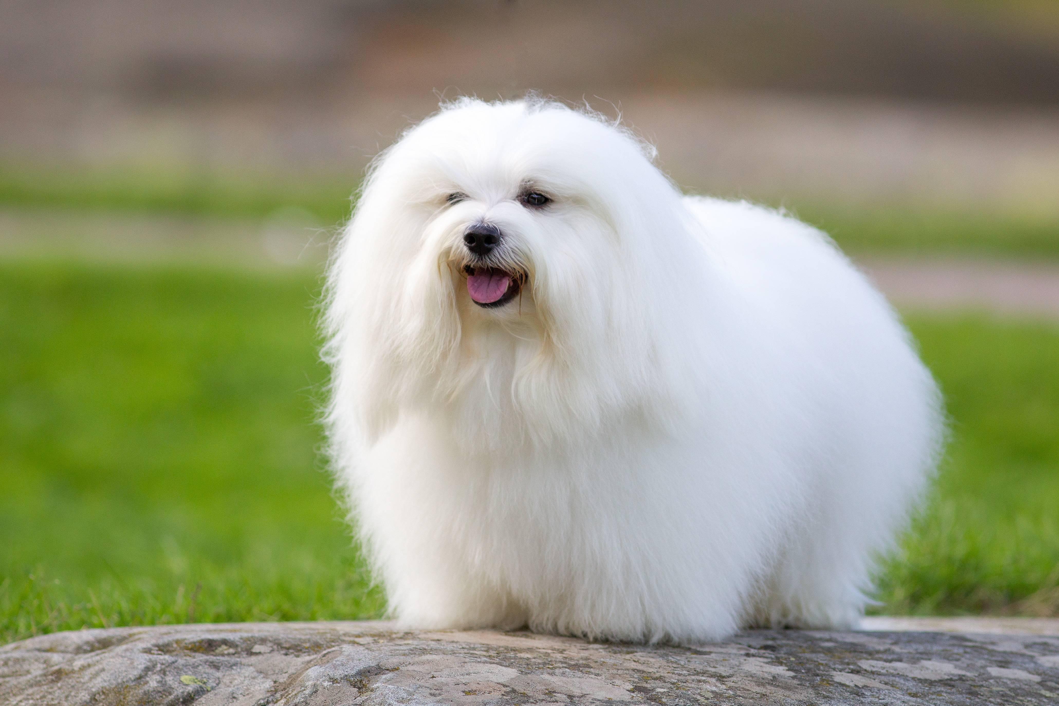 Все о породе собаки котон-де-тулеар
