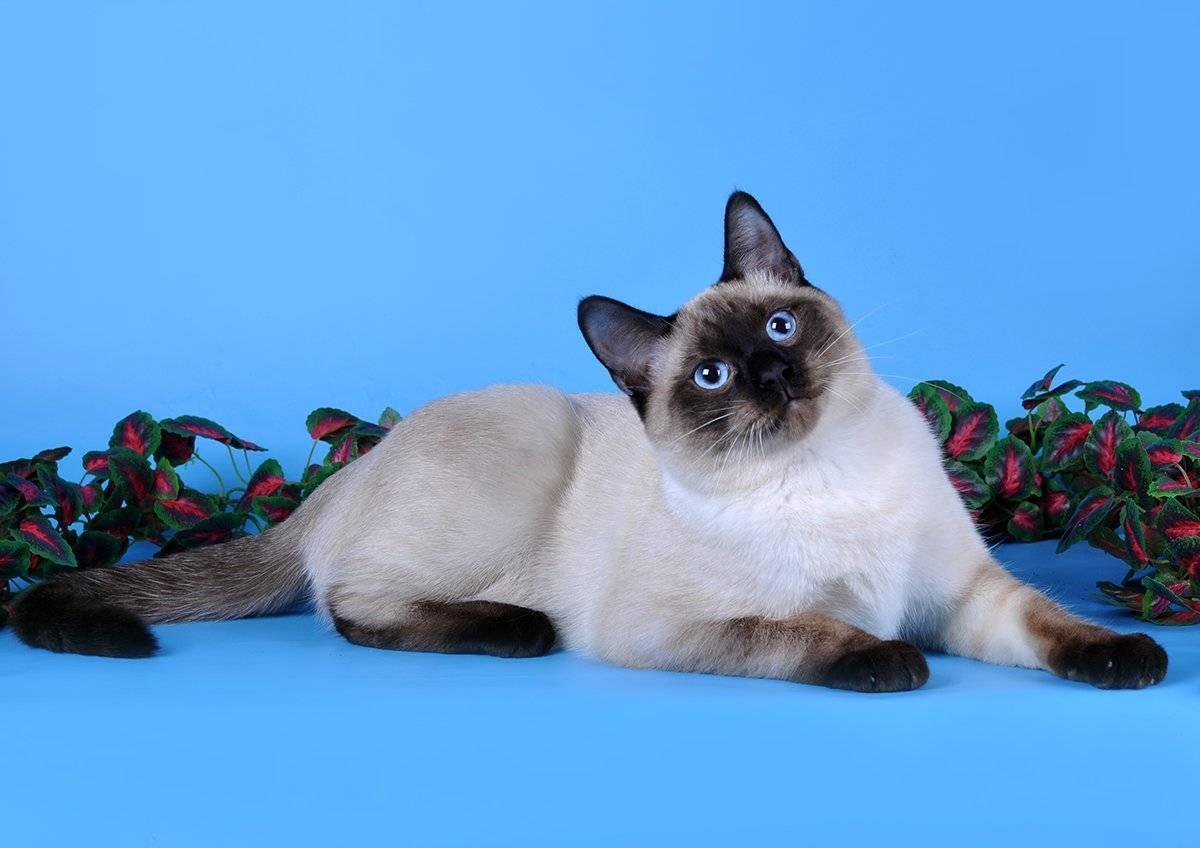 Характер тайских кошек, и тонкости ухода за пушистыми питомцами