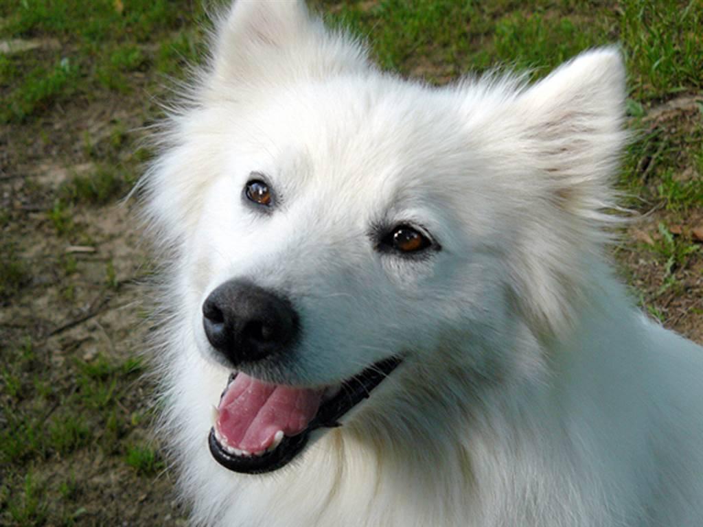 Большая белая собака: название породы, фото