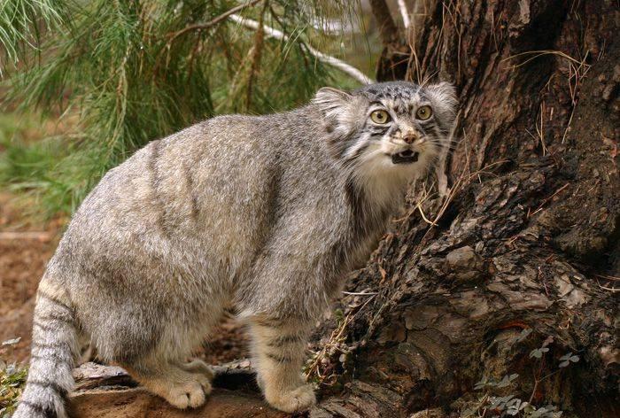 Манул - самый пушистый и ленивый из диких котов (фото)