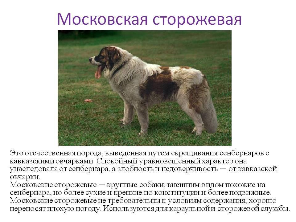 Сенбернар: фото и характеристика породы, описание характера и особенности дрессировки, цена и выбор щенка