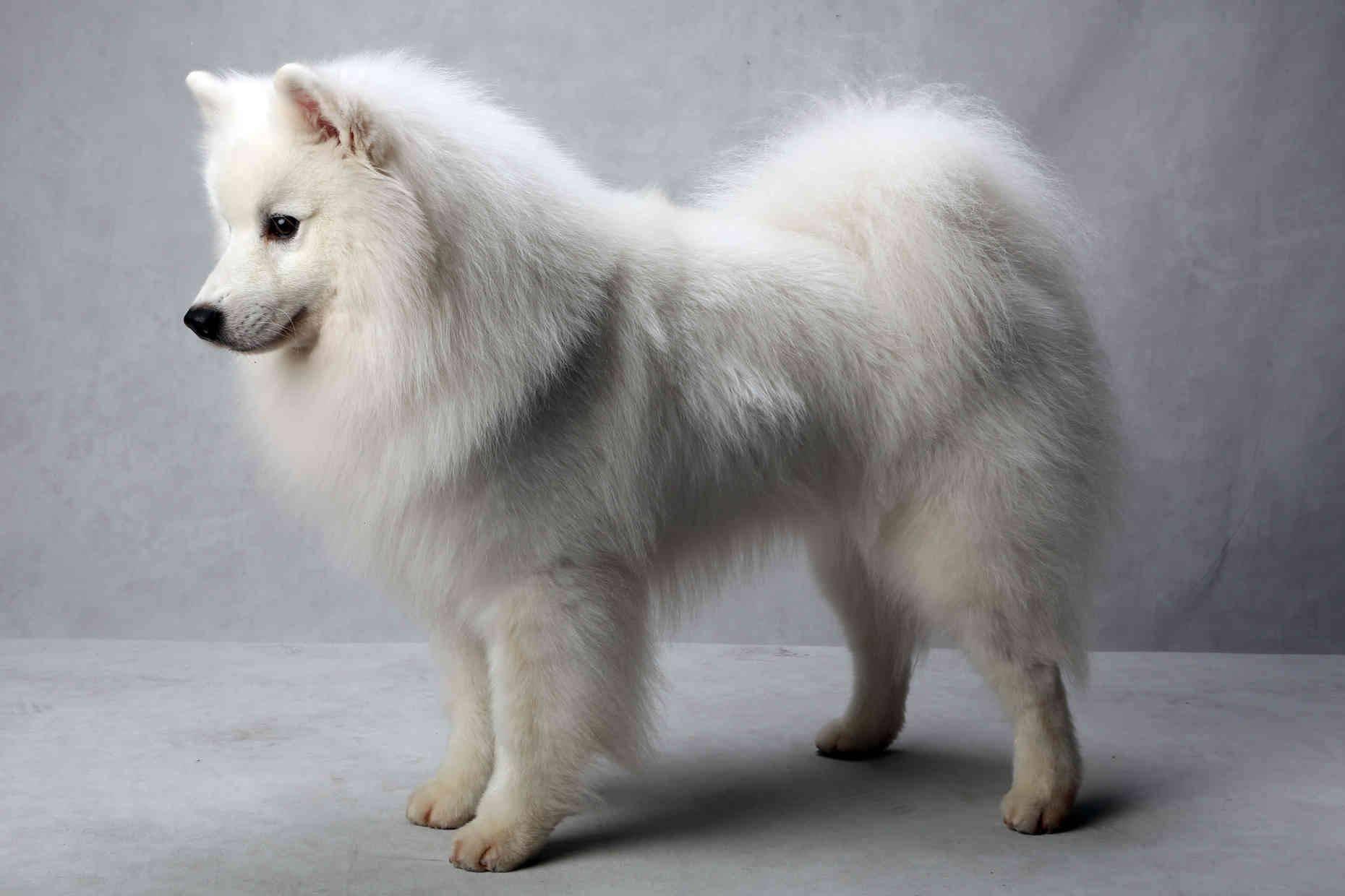 Характеристика собак породы американский эскимосский шпиц с отзывами и фото