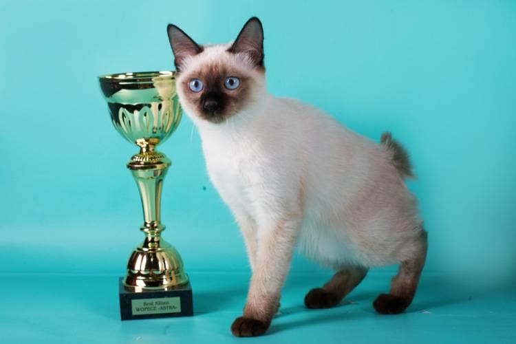 Меконгский бобтейл – кошка с коротким хвостом и сиамским окрасом