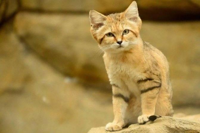 Барханный кот: описание, характер и нюансы «квартирной» жизни