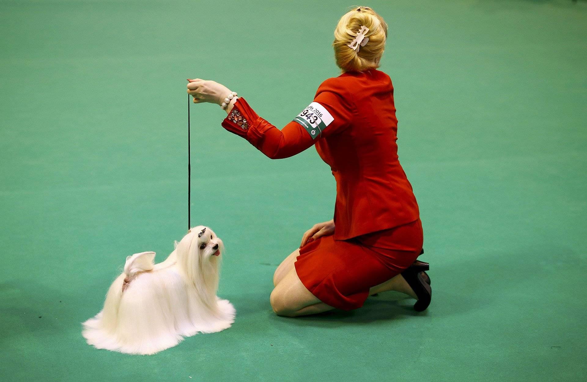 Выставка собак крафт: правила участия, программа, титулы