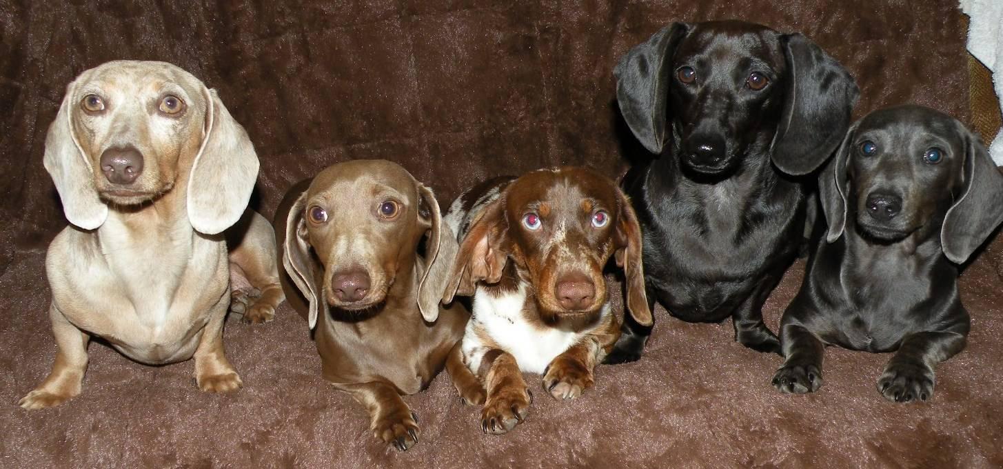Рыжая такса: фото собак, описание стандарта, возможные размеры, разновидности по типу шерсти, особенности ухода и выбор щенка
