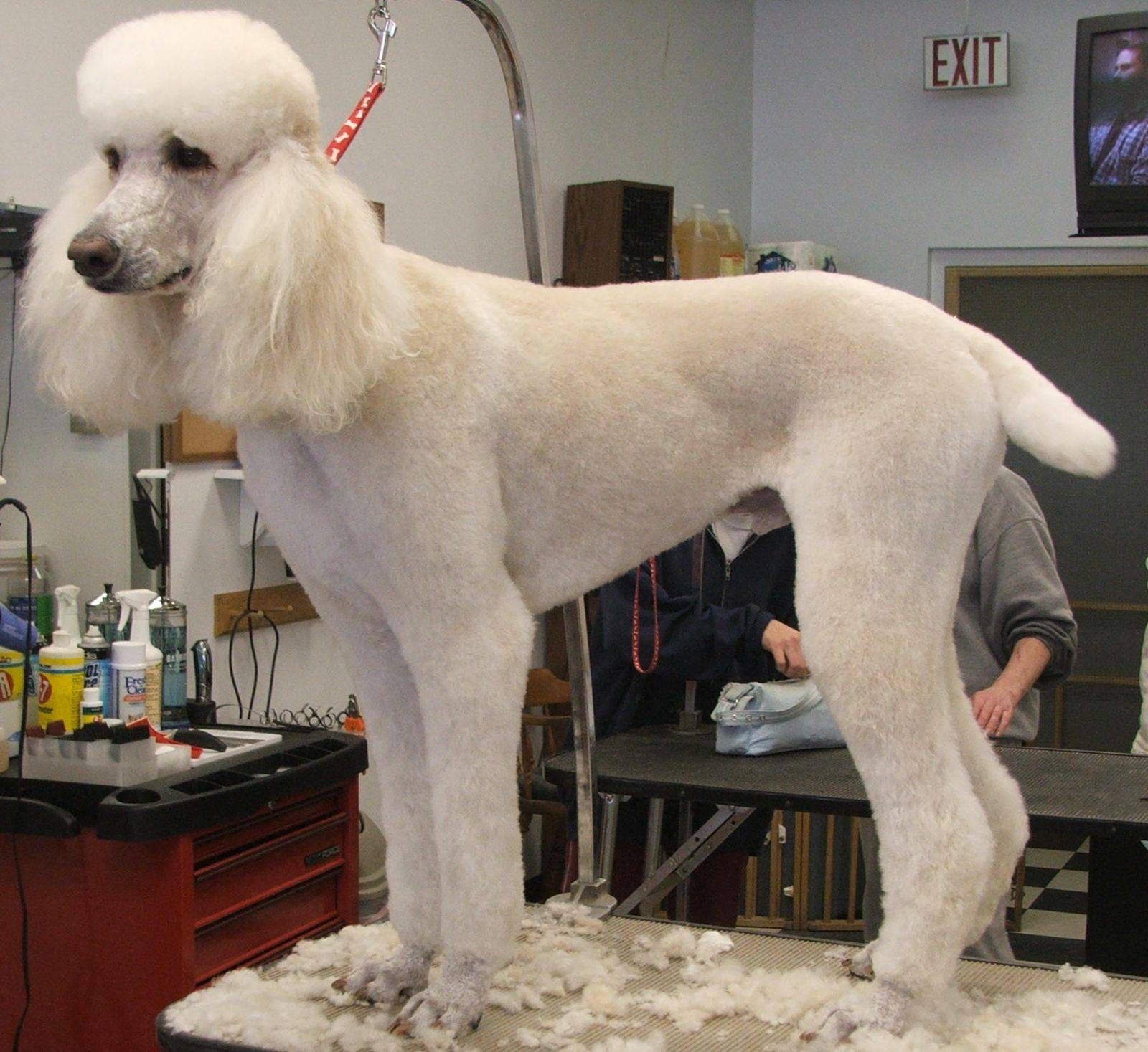 Той-пудель: нужна ли стрижка, как подстричь шерсть собаки