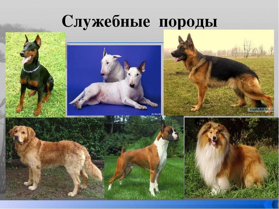 Служебные собаки: описание, виды, использование и применение