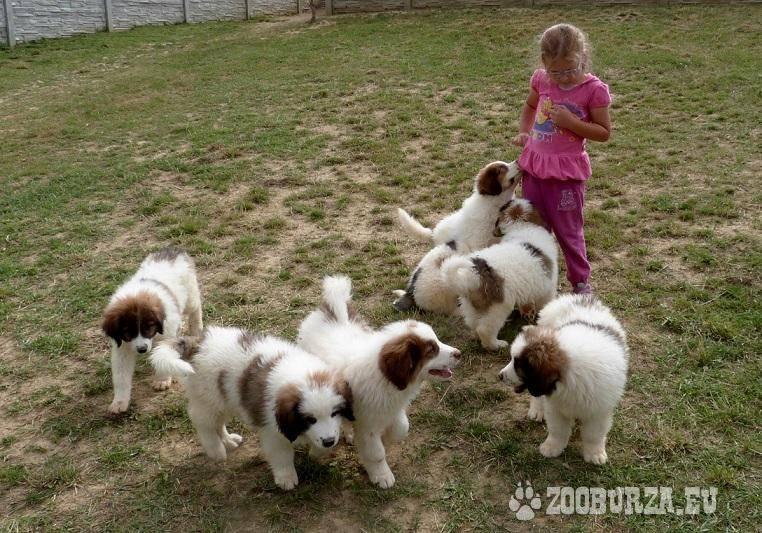 Описание породы, условия содержания и история собаки басенджи