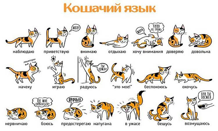 Какие звуки издают коты и что они означают?