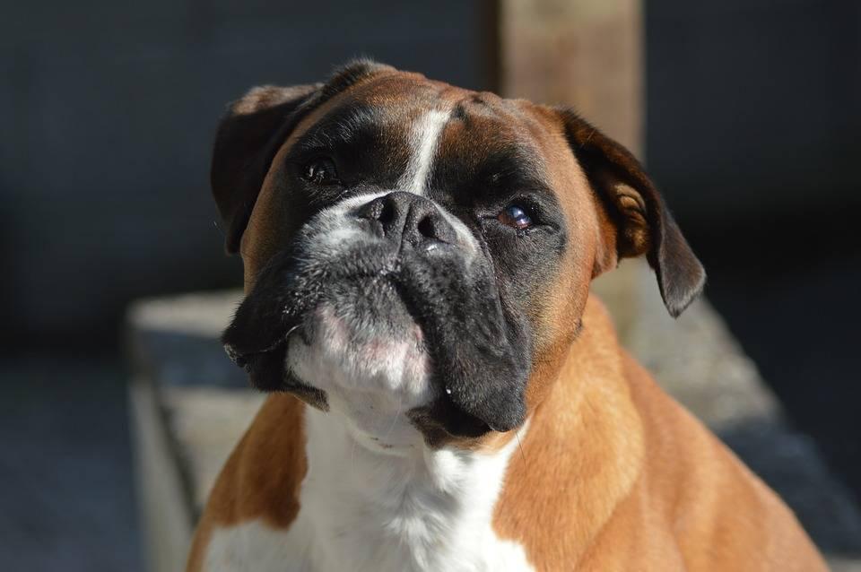 """Выпадение глазного яблока у собаки - причины,  лечение заболеваний глаз у собак в москве. ветеринарная клиника """"зоостатус"""""""