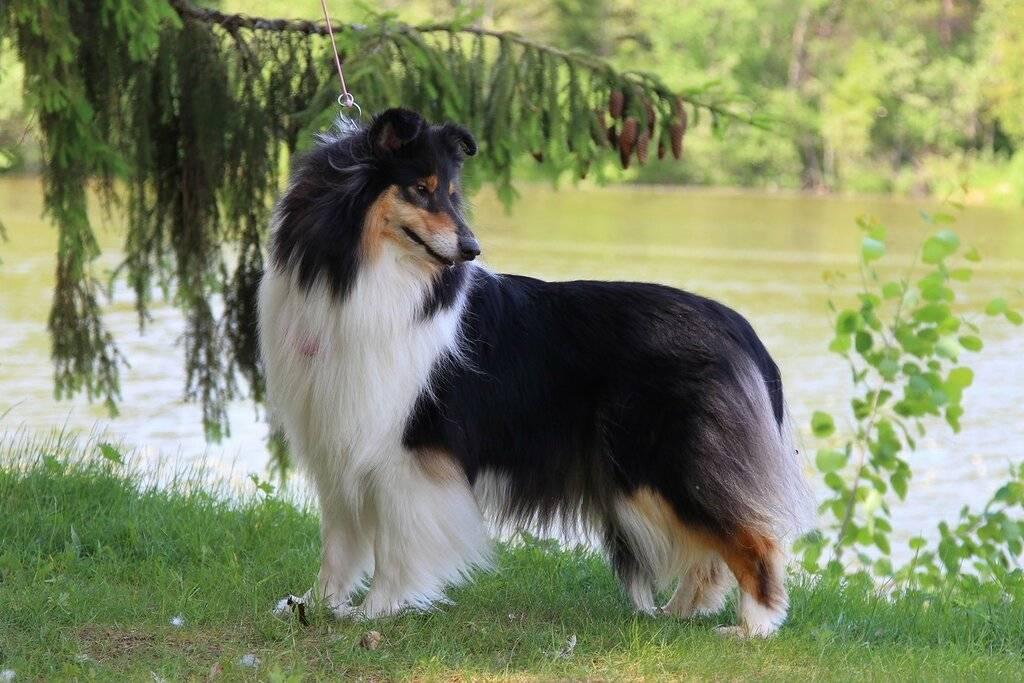 Колли (шотландская овчарка): описание породы с фото, характер, особенности ухода и содержания, отзывы владельцев