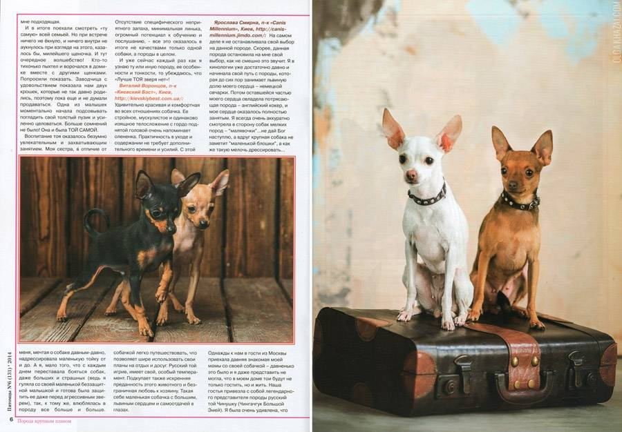 Русский гладкошерстный той-терьер (35 фото): описание короткошерстной породы, содержание маленьких собак с купированными хвостами