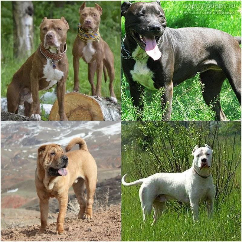 Бойцовские породы собак: фотографии, список, названия и характеристики крупных и малых псов бойцовых пород
