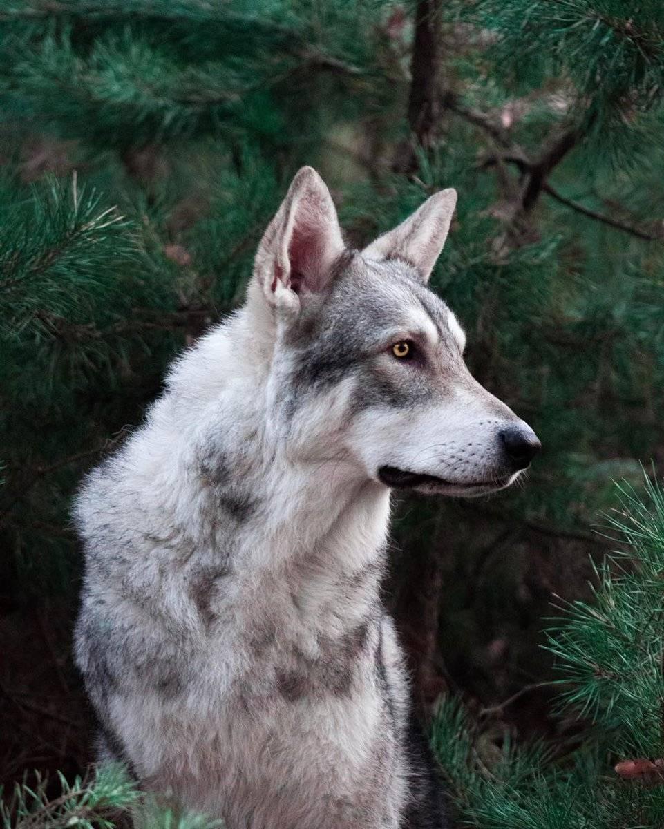 Чехословацкий влчак: фото и видео, описание, цены