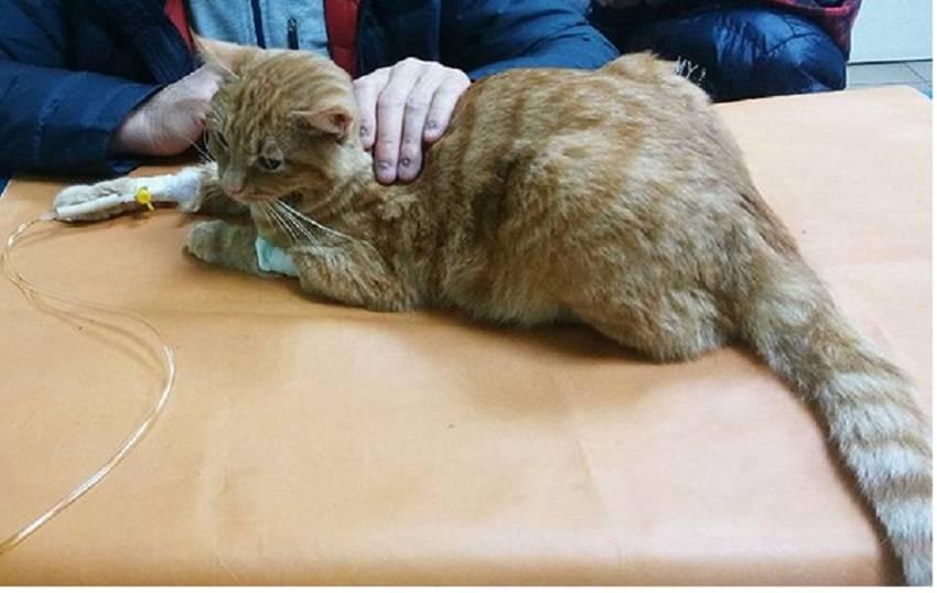 """Вирусная лейкемия кошек (влк) - симптомы, лечение,  анализы в москве. ветеринарная клиника """"зоостатус"""""""