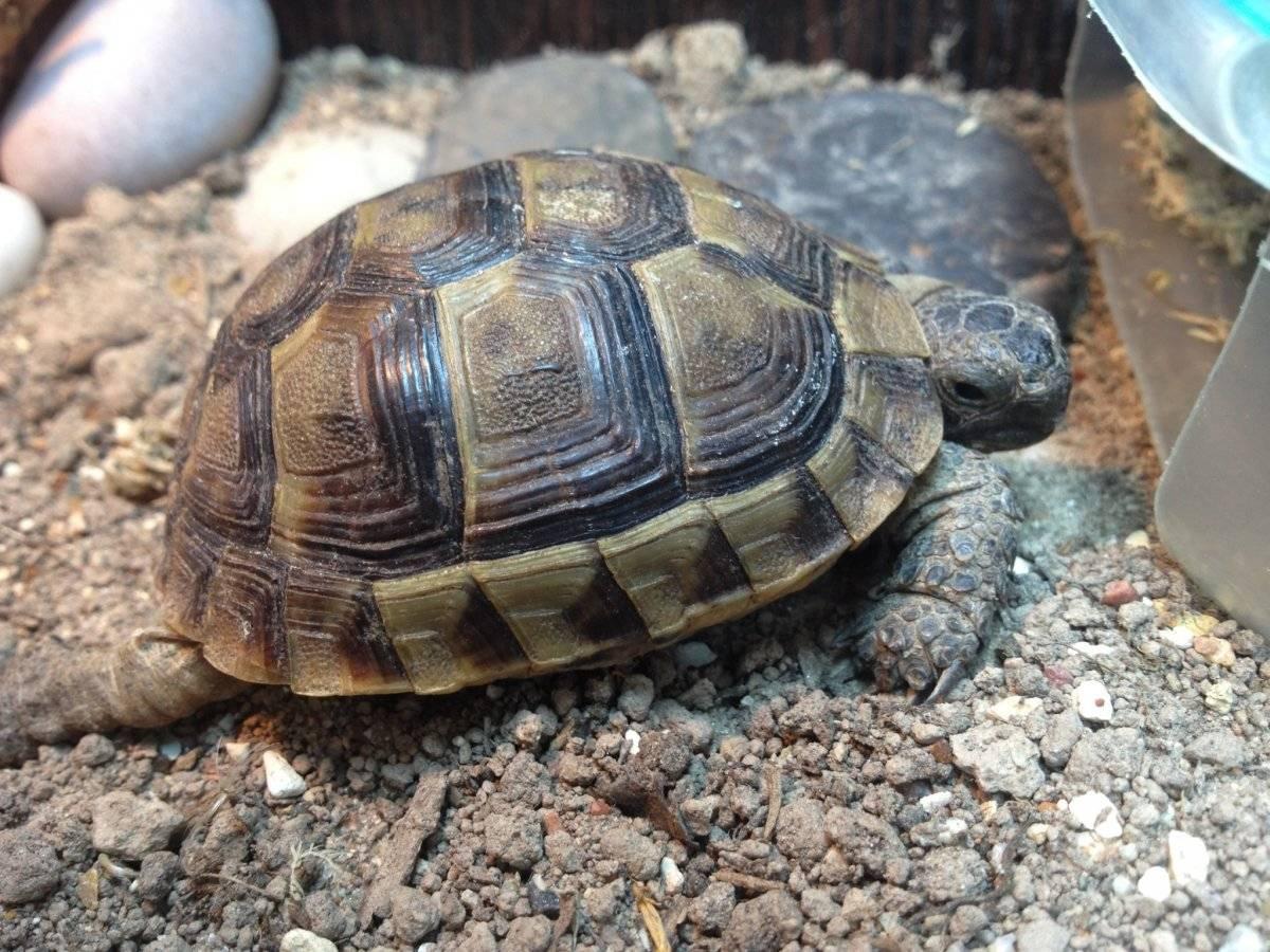 Сколько лет живут черепахи – продолжительность жизни черепах