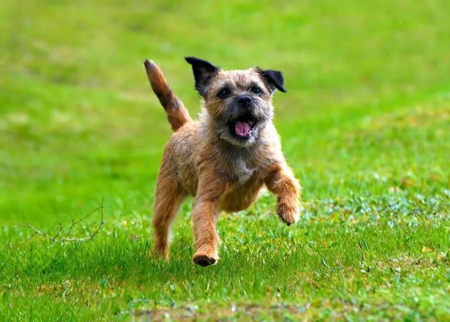 Бордер-терьер – вечный ребенок в собачьем обличии