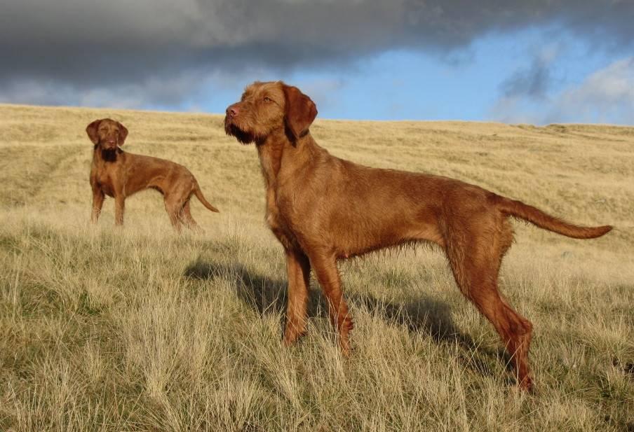 10 самых лучших охотничьих пород собак