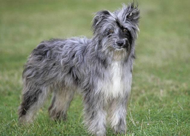 Пиренейская горная собака — википедия. что такое пиренейская горная собака