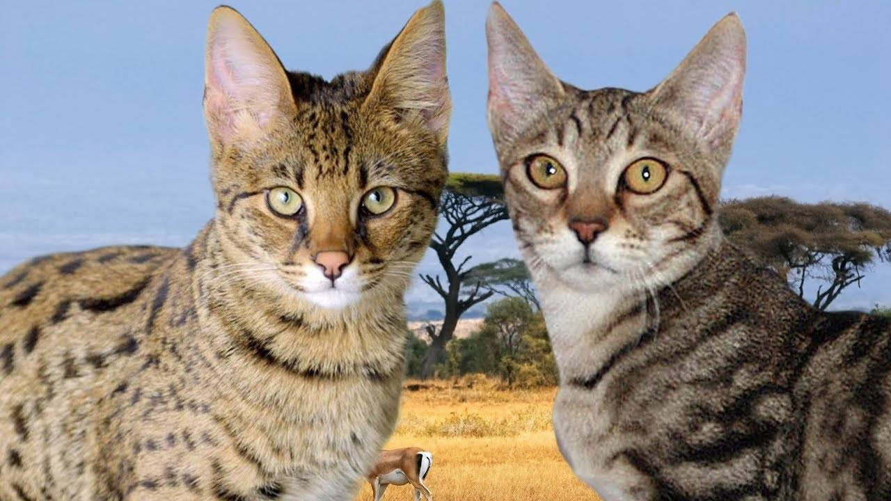 Кошки серенгети: описание породы. характер, история, цена, фото