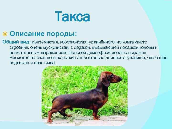 Собака породы такса: фото, описание характера, принятый стандарт, интересные факты, особенности содержания, плюсы и минусы