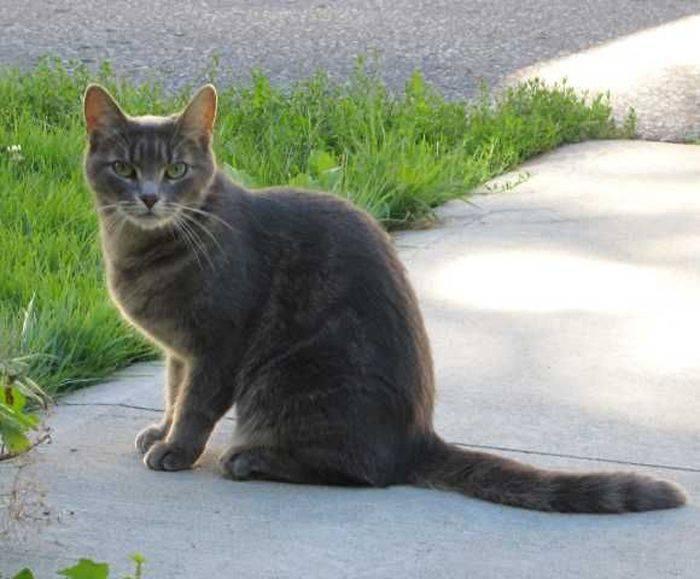 Бразильская короткошерстная кошка— описание породы, уход и содержание