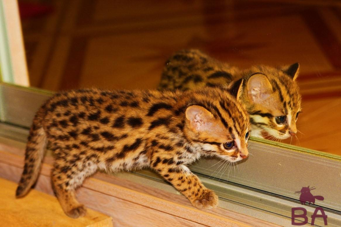 Пятнистая кошка — примеры пород и их названия