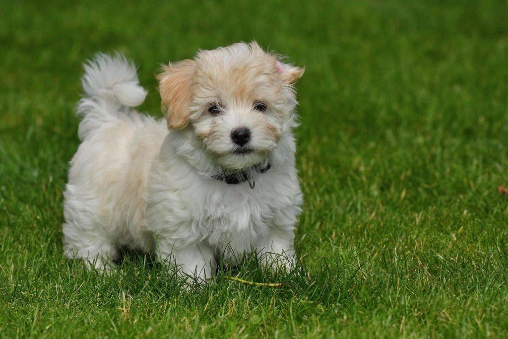 Порода собак бишон фризе