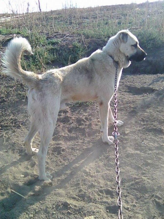 Турецкий кангал: описание породы собак, содержание и уход турецкого волкодава