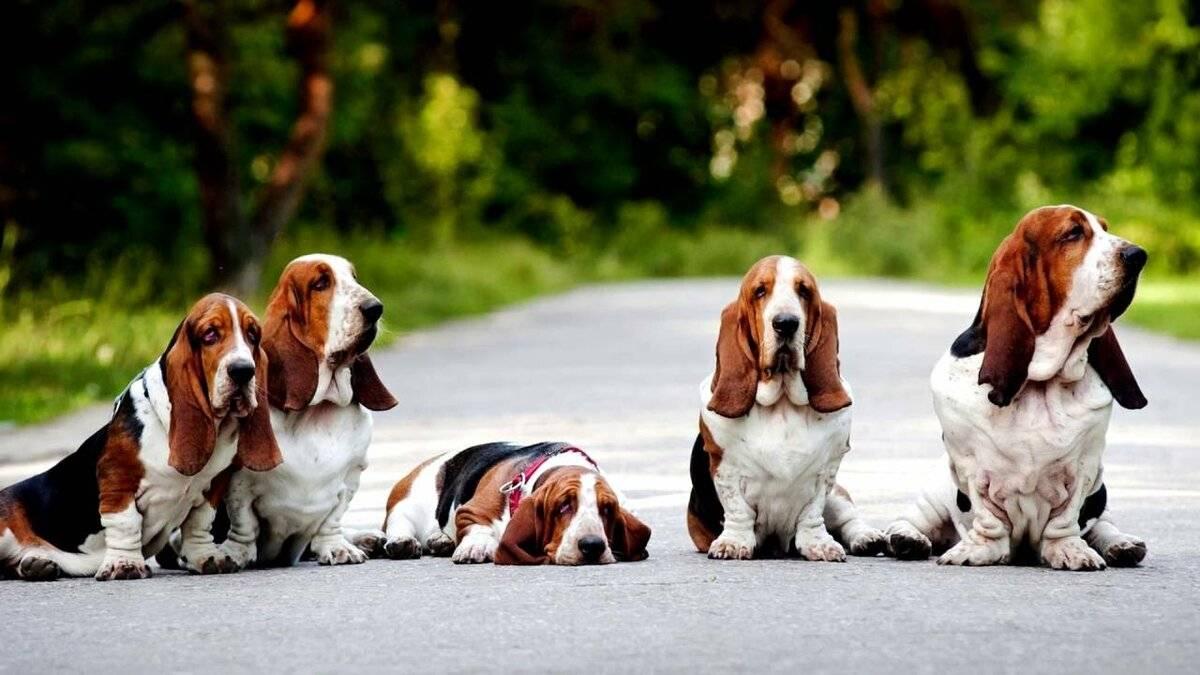 Все о породе бассет хаунд: подробная характеристика собак и темперамента