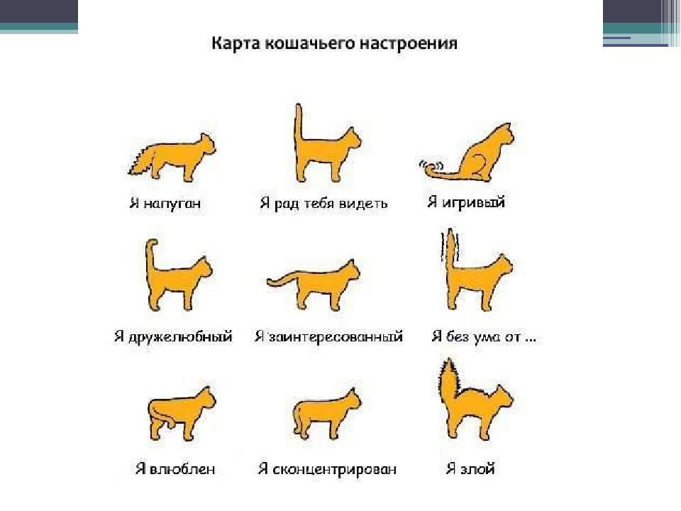 Язык кошек и как понимать своего кота