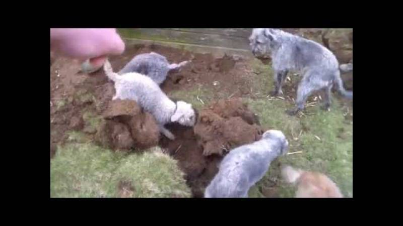 Породы собак-крысоловов