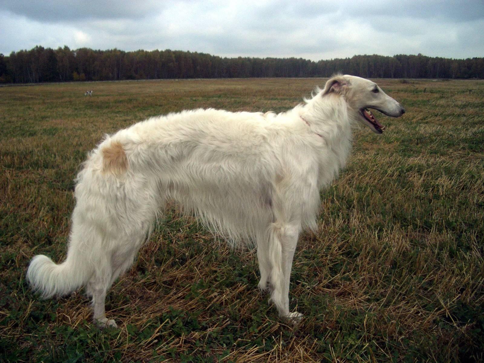 Порода собак русская борзая и ее характеристики с фото