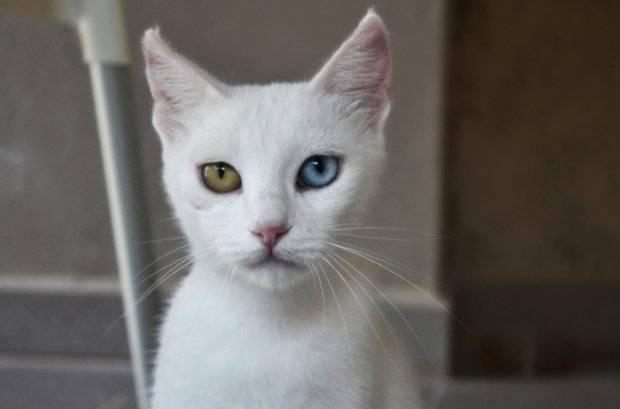 Содержание и уход за белой домашней кошкой с разными глазами