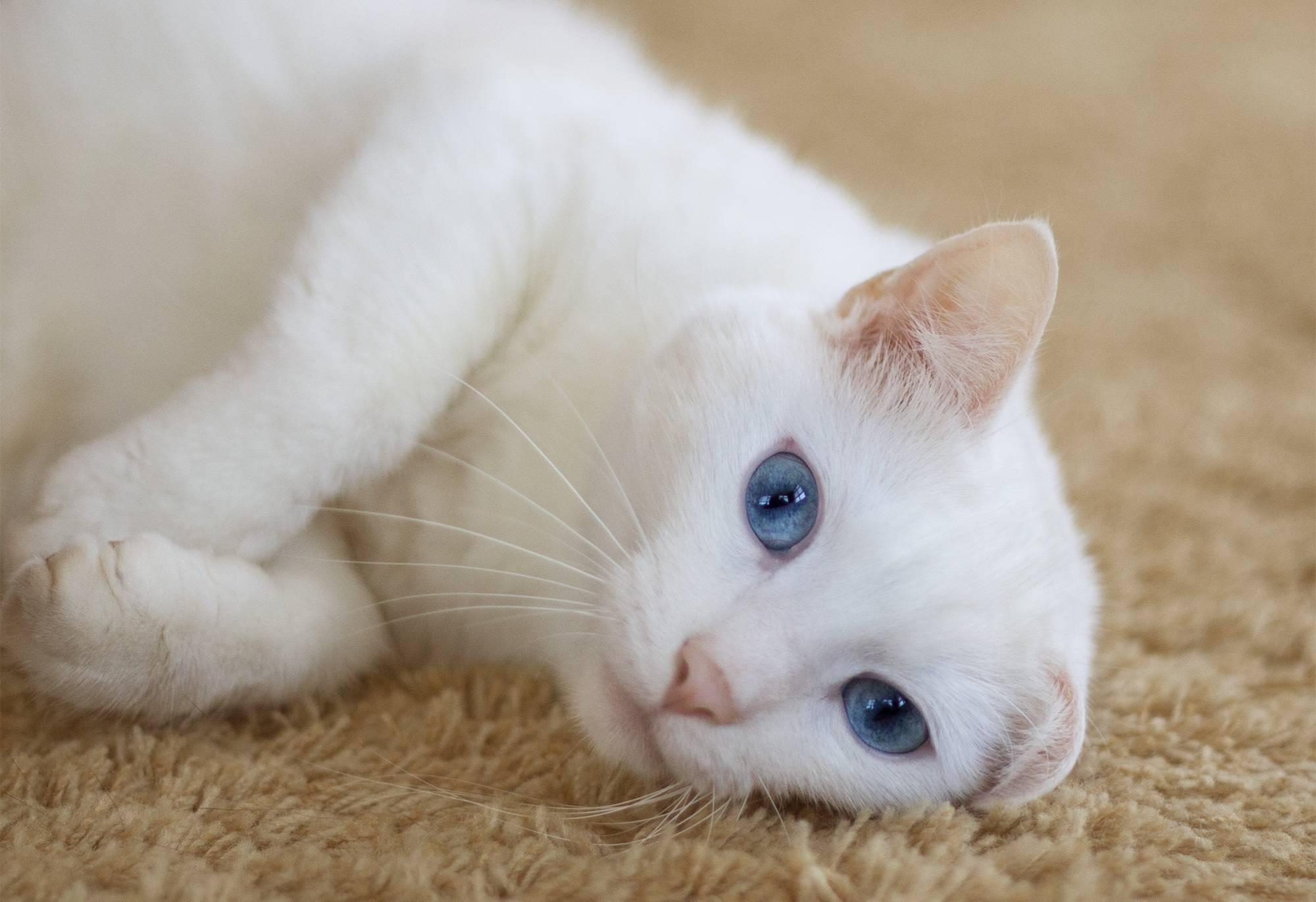 Всё о белых голубоглазых кошках