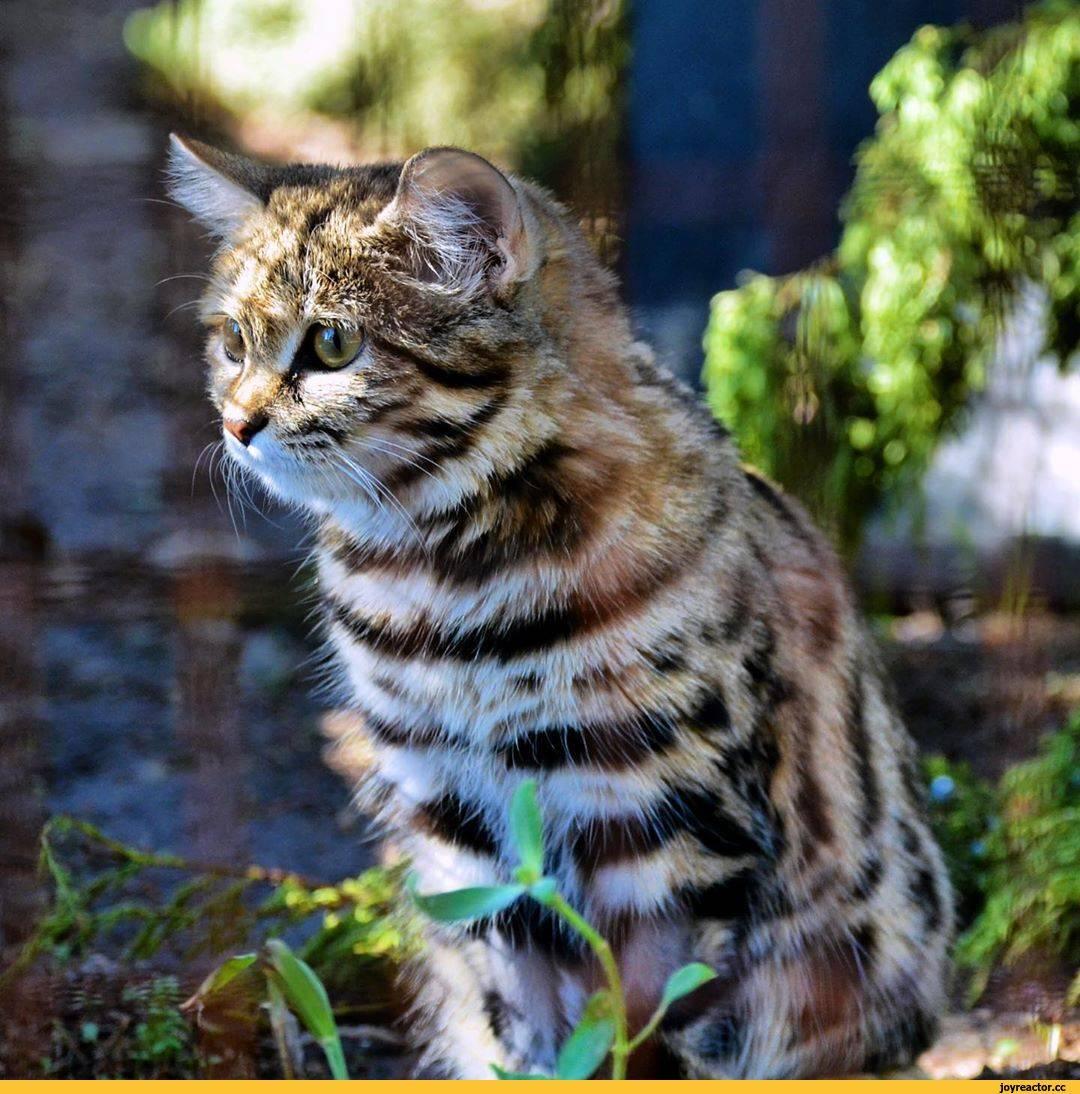 Кошка черноногая: описание, образ жизни и размножение