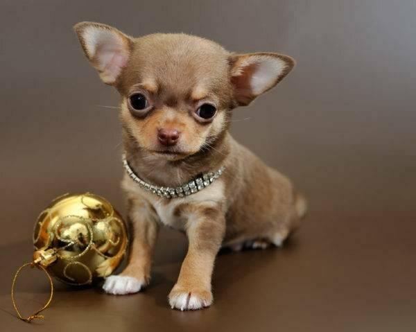 Мелкие породы собак. описание, названия, виды и фото мелких пород собак