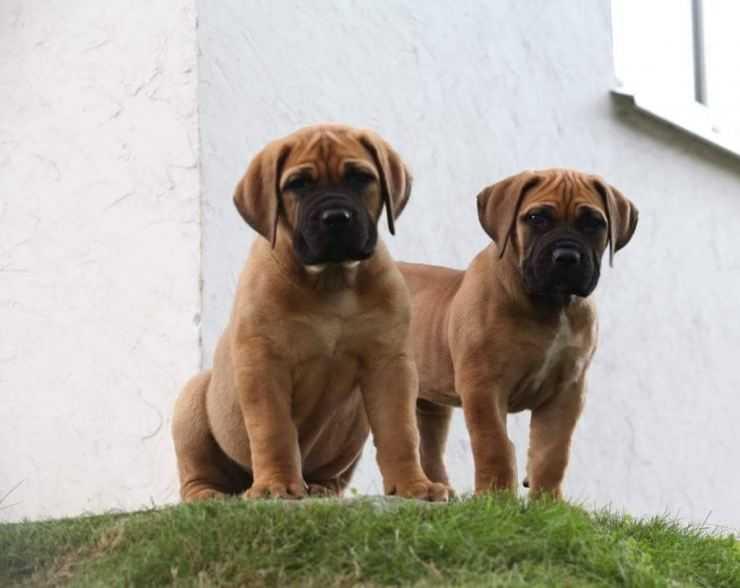 Бурбуль — недооцененные собаки
