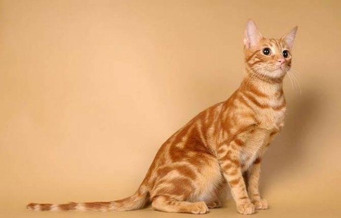 Анатолийская кошка: описание породы