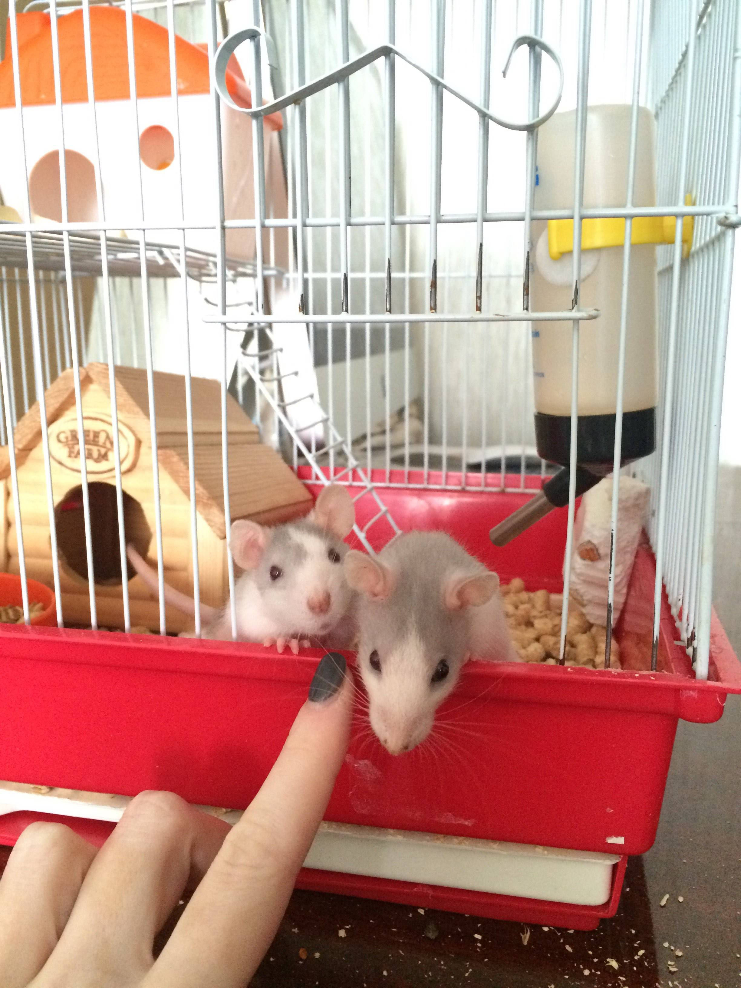 Что должно быть в большой клетке у декоративной крысы