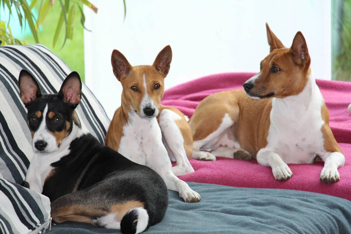 5 пород собак, которые не будут докучать своим лаем