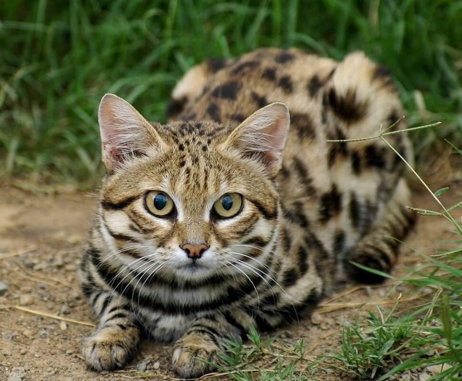 Черноногая кошка: фото, описание породы, обитание, питание, размножение черноногая кошка: фото, описание породы, обитание, питание, размножение