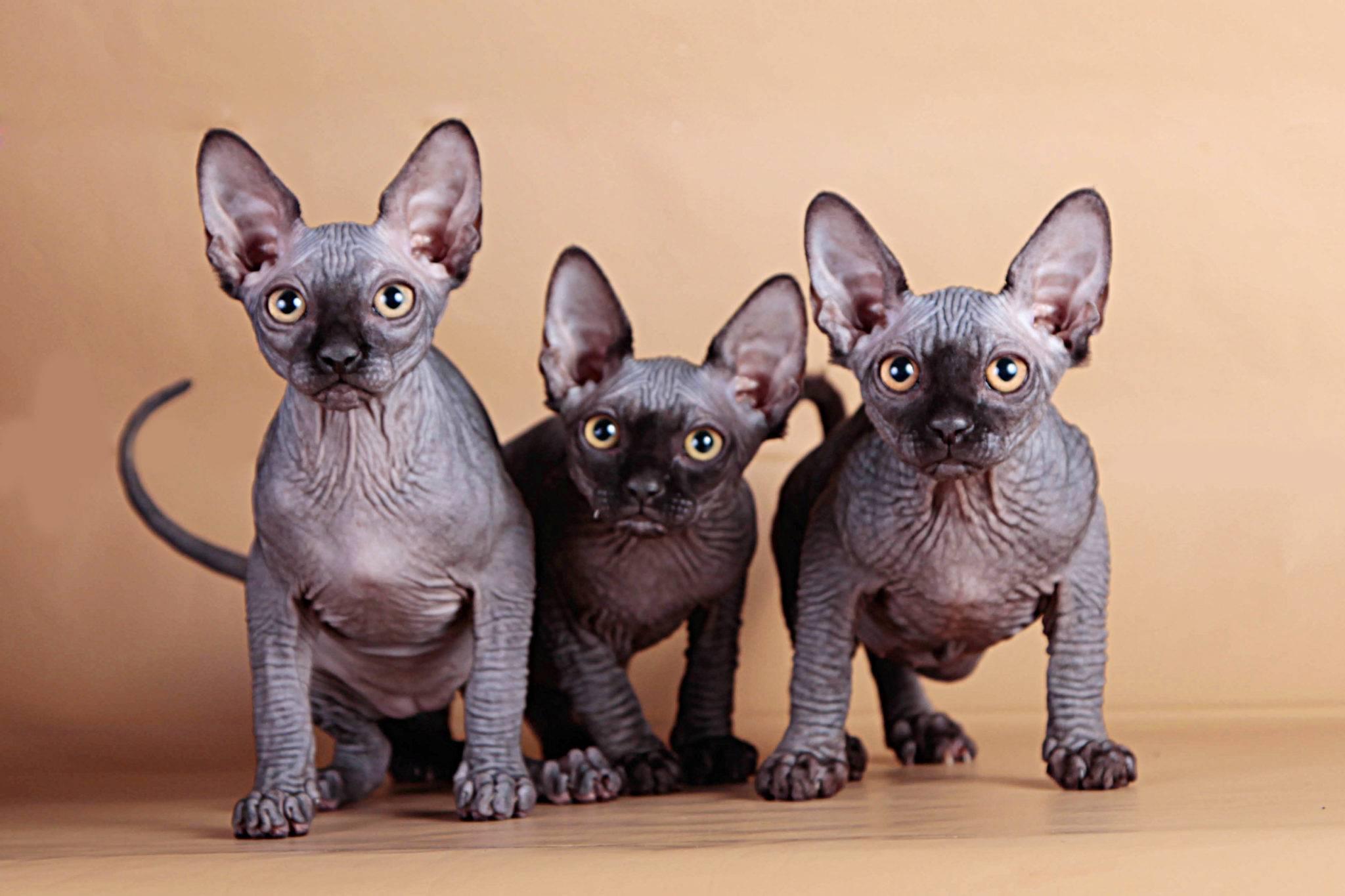 Кошка канадский сфинкс: фото, описание породы, характер, содержание.