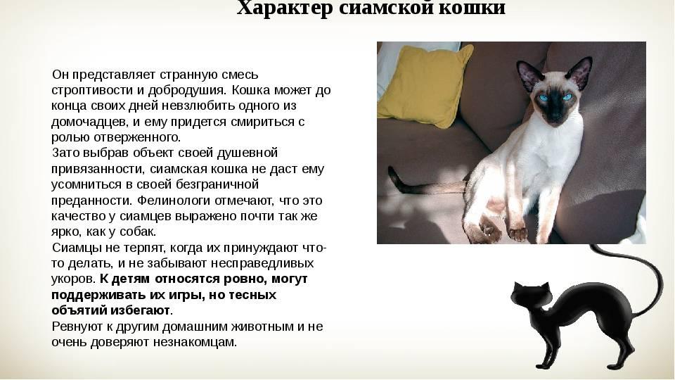 Характер сиамских кошек - особенности поведения - kisa.su
