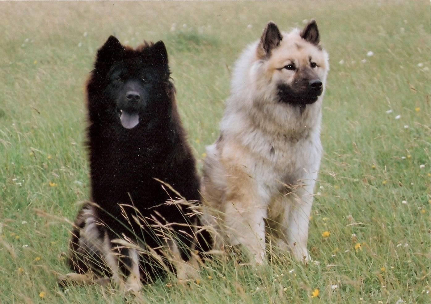 Евразиер (евразийская собака, ойразиер)
