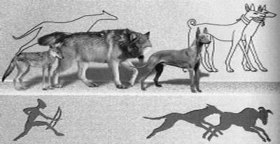 От кого произошли собаки? родственники собак. начало селекции пород собак.