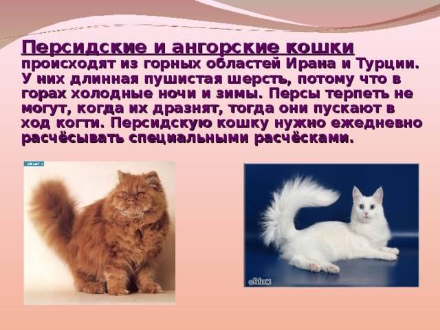 Турецкая ангора: фото и описание породы, цена котенка, характер кошки
